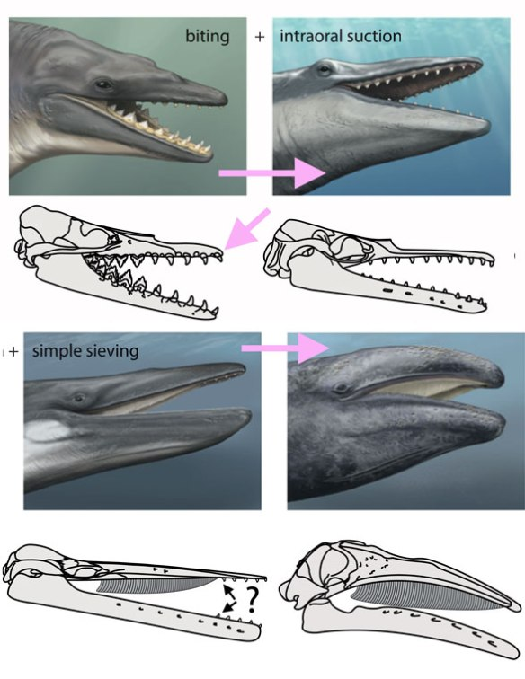 Figure 2. from Marx et al. 2016. presumes the monophyly of whales and the origin of mysticetes from odontocetes with small teeth. Both are not supported by the LRT. Upper left: Dorudon. Upper right: NMV P2525677. Lower left: Yamatocetus Lower right: Eschrichtius.