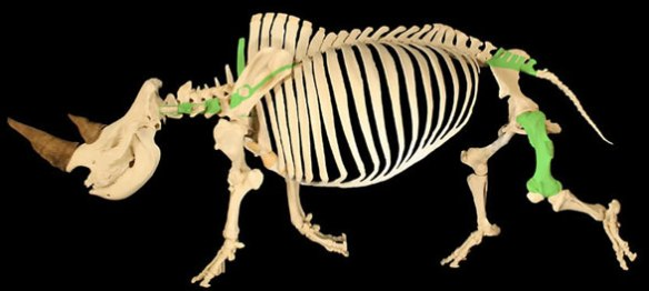 Figure 7. Ceratotherium (white rhino) skeleton, distinct from the long-legged Paraceratherium.