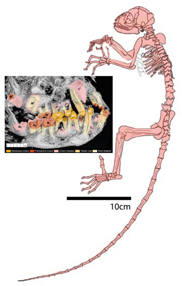 Figure 1. Darwinius overall plus an X-ray showing the transition from milk teeth to adult teeth in this juvenile specimen.