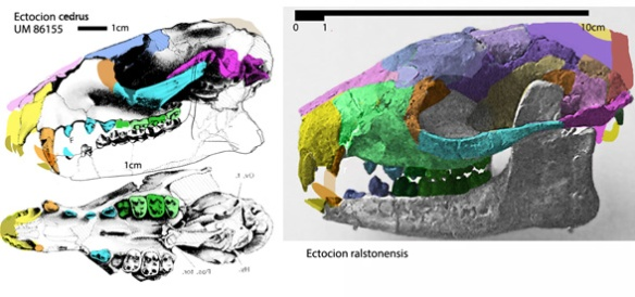 Figure 1. Ectocion nests with the rock hyrax, Procavia, giving rise to elephants + manatees.
