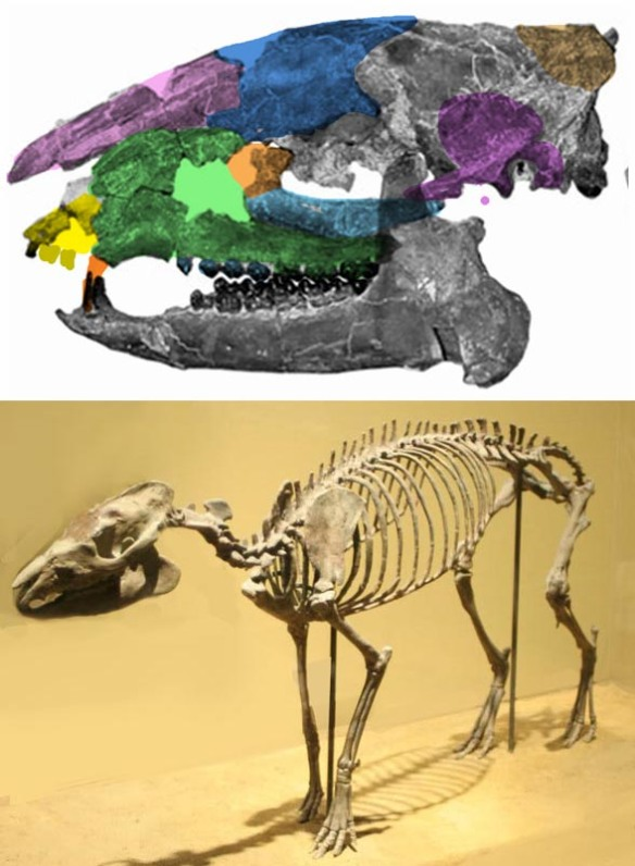 Figure 2. Hyracotherium is an Eocene horse sister in the LRT. Skull bones are colorized here.