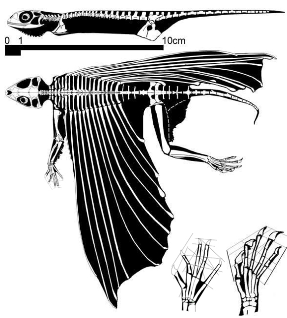 Figure 3. Icarosaurus. Note the tiny ribs near the shoulders. The bases for the strut-like dermal bones are the ribs themselves flattened and transformed by fusion to act like transverse processes, which sister taxa do not have. Note the length of the hands corresponds to the base of the anterior wing strut.