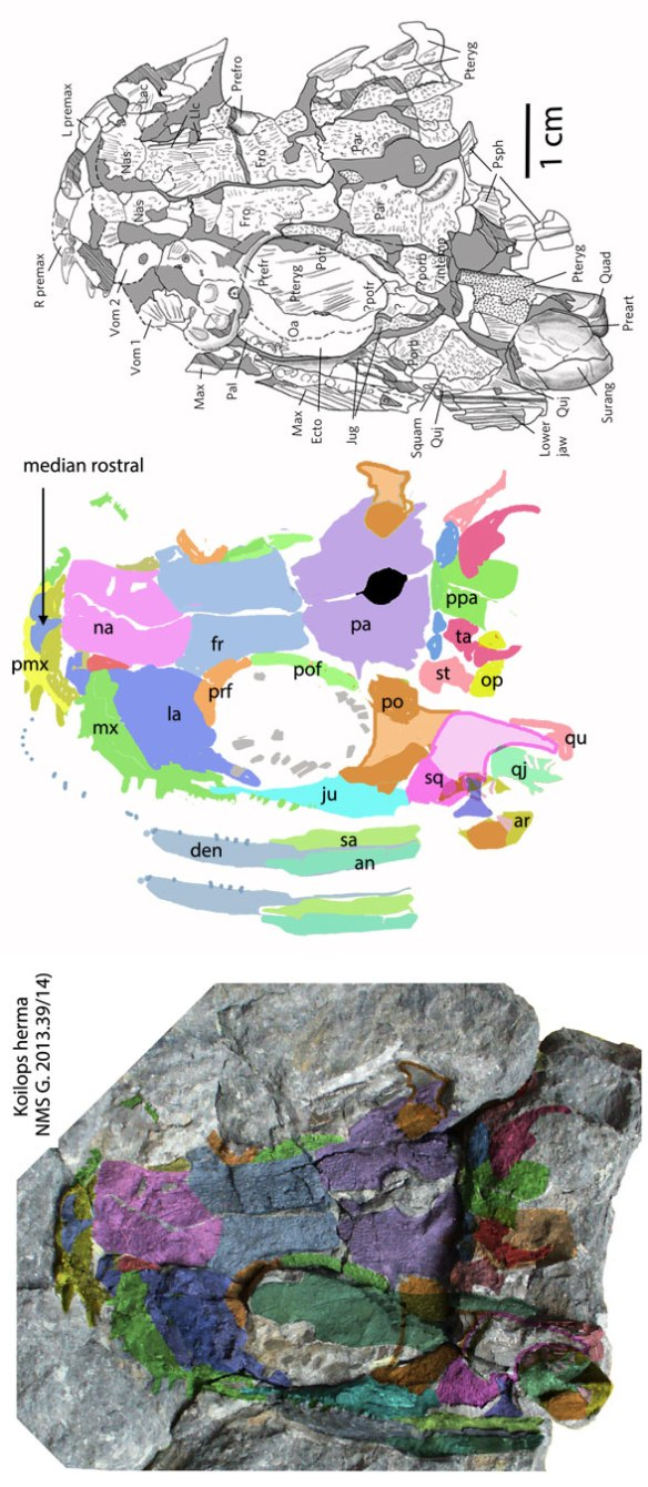 Figure 2. A new Romer's Gap taxon, Koilops, nests with basalmost tetrapods. The skull is similar to that of Acanthostega.