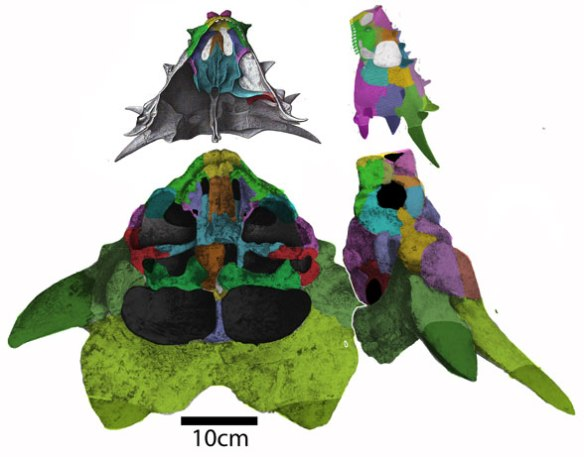 Figure 1. The palate and lateral skulls of Elginia, a small toothed pareiasaur, and Niolamia, a large, toothless turtle to scale. These taxa nest a the origin of turtles.