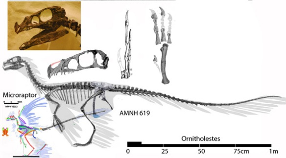 FIgure 6. Ornitholestes nests as a sister to Sciurumimus, between Compsognathus and Microraptor.