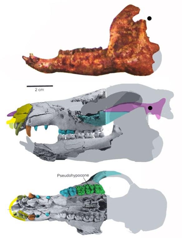 Figure 1. Pleurospidotherium a