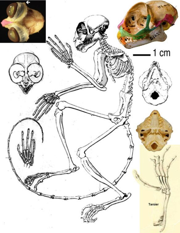 Figure 2. Tarsius, the extant tarsier. Note the several autapomorphies displayed here vs. the many plesiamorphies in Darwinius.