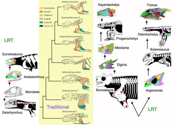 Figure 1. In traditional studies Eunotosaurus nests at the base of turtles, but that is only in the absence of the taxa shown here and correctly scored. Here Eunotosaurus is convergent with turtles, but not related. Turtles arise from small pareiasaurs.