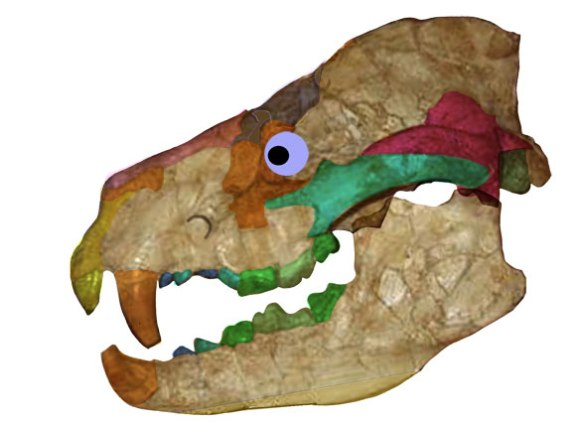 Figure 2. Amphicyon skull. Note the retention of the septomaxilla/anterior lacrimal and the posterior extension of the jugal to the jaw glenoid.