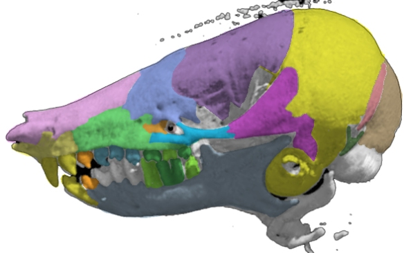 Figure 2. Chrysochloris skull lateral view. Note the many similarities to Necrolestes, including a ventral naris, expanded bulla, and similar shapes for the other bones.