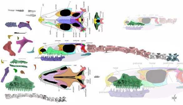Figure 1. Czatkowiella harae bits and pieces here reconstructed as best as possible. Note the size difference here between the large maxilla and the small one.