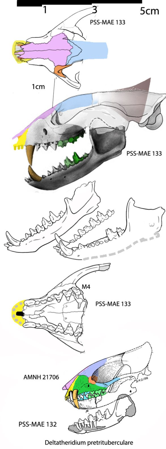 Figure 1. Deltatheridium skulls, PSS-MAE 132, 133 and AMNH 21706.