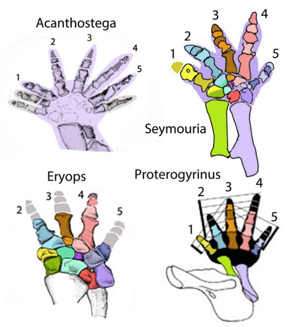 Figure 2. The manus of the temnnospondyl Eryops compared to those of the polydactyl, Acanthostega and the pentadactyl reptilomorphs, Seymouria and Proterogyrinus. Homologous digits and carpal element are colored the same. In Eryops the pollex or digit 1 is absent, leaving only a small bump on Centrale 1. Note distal carpal 3 is smaller than 2 and 4 in Eryops and Seymouria. Digit 4 is the longest in Acanthostega and temnospondyls.