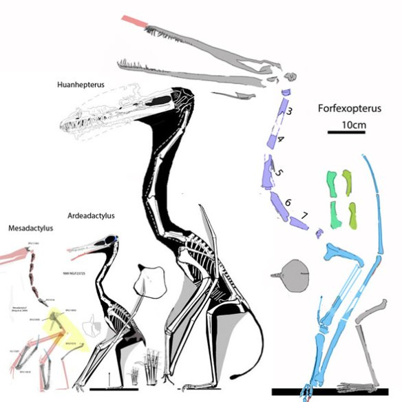 Figure 2. Forfexopterus compared to sisters Huanhepterus and Ardeadactylus and the BYU specimen of Mesadactylus.