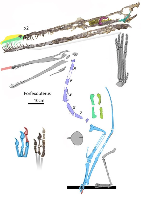 Figure 1. Forfexopterus reconstructed. Note the metacarpals: 1>2>3, shared with Ardeadactylus. The rostrum tip is off the matrix.