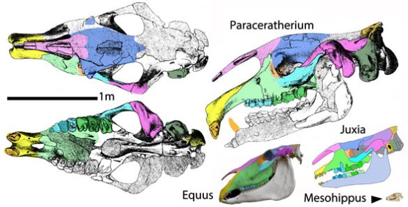 Figure 2. A selection of horse and indricothere skulls to scale. No other taxa are more closely related to these than each is to each other.