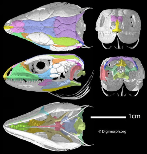 Figure 1. Lacerta viridis skull from Digimorph.org and used with permission. Here the enlargement of the postfrontal basically erases the former upper temporal fenestra. Several novel ossifications appear around the orbit and cheek.