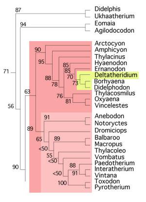 Figure 3. Subset of the LRT focusing on marsupials and Deltatheridium nesting with Borhyaena.