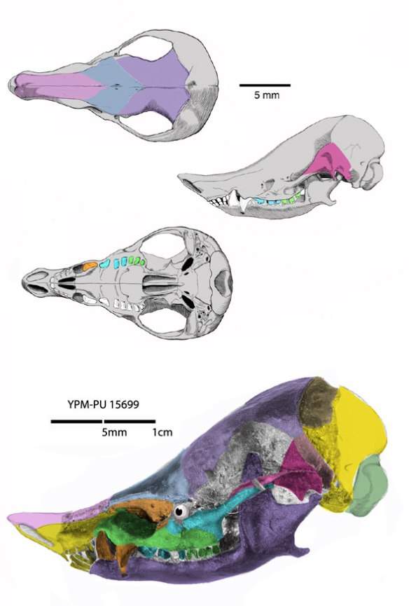 Figure 1. Necrolestes skull. Note the scale bar problems. DGS colors the bones here.