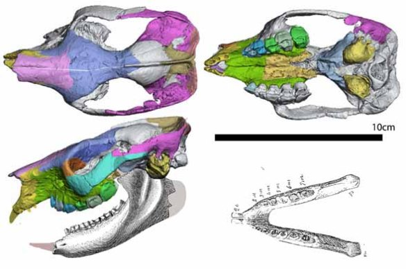 Figure 1. Notostylops skull colorized in three views.