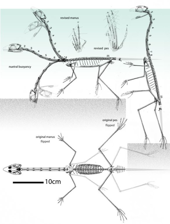 FIgure 1. Ozimek skeleton in vivo. Water and grainy lake bedding are indicated. Neutral buoyancy is one answer to the riddle of those hyper-slender limbs.