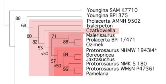 Figure 2. Borsuk−Biaynicka and Evans tested only Prolacerta and Protorosaurus among the Protorosauria.