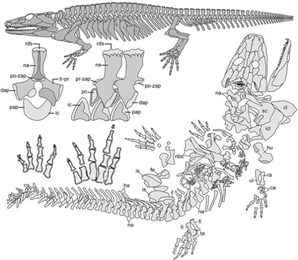 Figure 1. Sclerocephalus in situ and reconstructed. This taxon nests with Eryops among the temnospondyls.