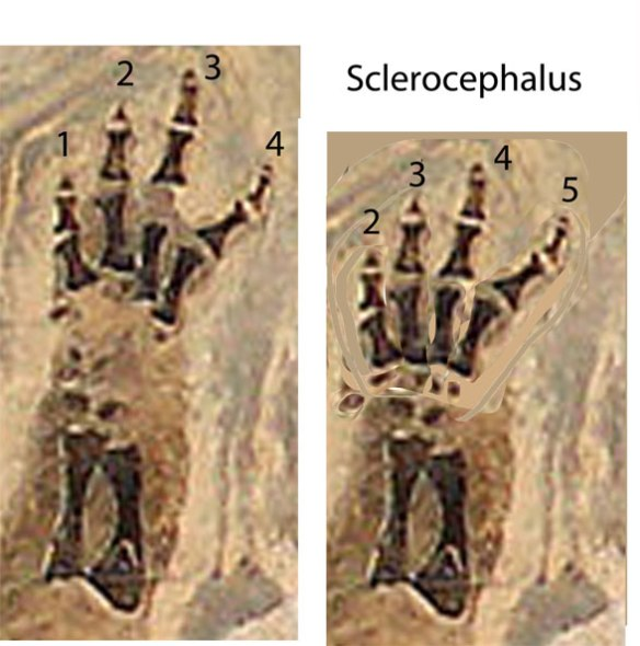 Figure 1. Manus of Sclerocephalus, a well-preserved temnospondyl with four fingers, here labeled 1-4 (traditional) and 2-5 (heretical). The carpus is not as fully ossified as in Eryops, figure 2.