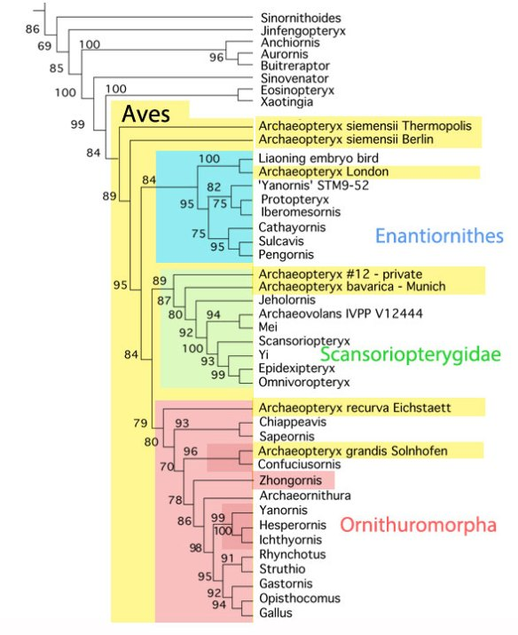 Figure 2. Bird cladogram focusing on Zhongornis. Each of the three colored bird clades independently prodded members with a pygostyle.