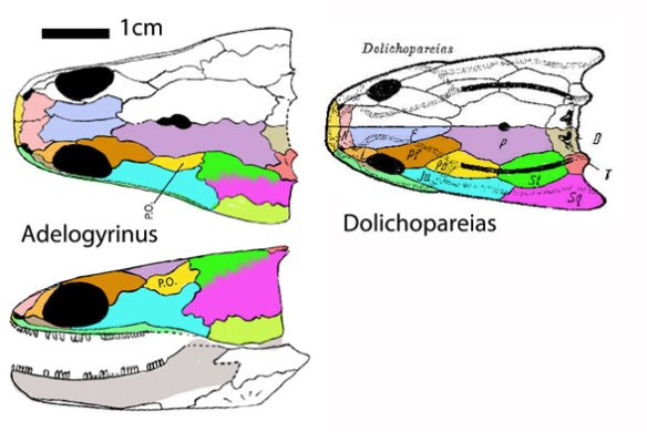 Figure 3. Adelogyrinus skull. This less derived taxa provides clues to the identification of the bones in the skulls of Eocaecili and Brachydectes.