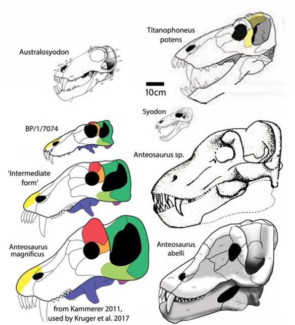 "Figure 2. Kruger et al. 2017 figure 21. provided ""Ontogenetic changes in the skull of Anteosaurus; A. juvenile; B, intermediate sized; C, adult sized, redrawn from Kammerer 2011. Their figure 20 labeled the intermediate sized skull as Titanophoneus. So this is a phylogenetic series, not an ontogenetic one."
