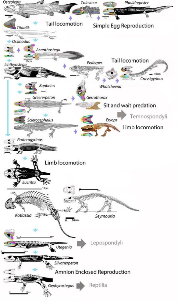 Figure 1. CLICK TO ENLARGE. Basal tetrapod subset according to the LRT. These taxa lead to Reptilia, Lepospondyli and through that clade, the Microsauria. Note the convergent development of limbs and digits arising out of Osteolepis.