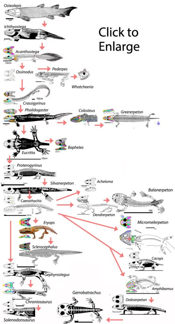Figure 5. Basal tetrapods according to Marjanovic and Laurin 2016. Figures 6 and 7 lead to Amniota and Microsauria respectively.