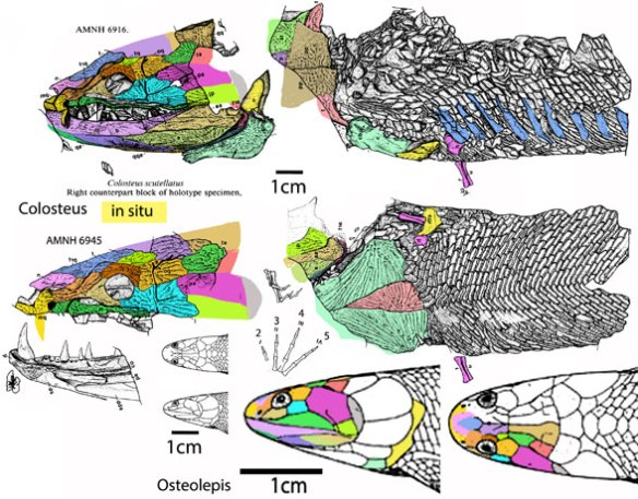 Figure 2. Colosteus holotype drawing of the fossil in situ from Hook 1983 compared to the closely related Osteolepis.
