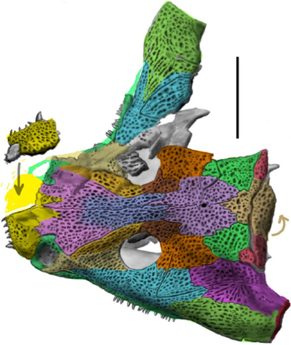 Figure 3. Deltaherpeton skull with colors added.