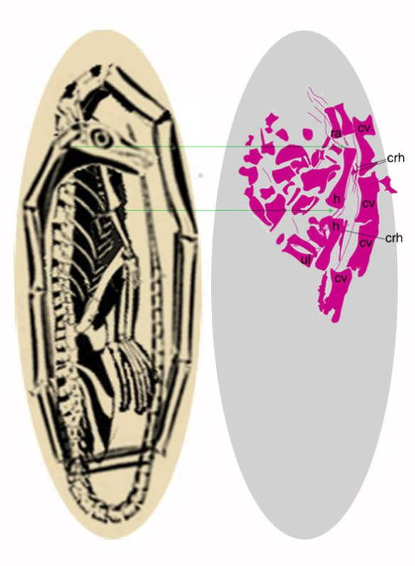 Figure 5. Hypothetical Tanystropheus embryo compared to Dinocephalosaurus embryo.
