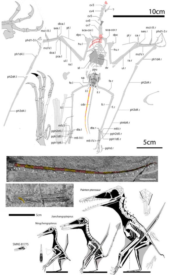 Figure 1. Douzhanopterus at top in situ compared to scale with related pterosaurs, including Jianchangopterus, Ningchengopterus and the Painten pterosaur, all at the base of the Pterodactylidae.