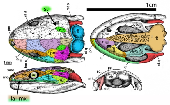 Figure 1. Eocaecilia skull with original and new bone identifications based on comparisons to sister taxa listed here. Like Brachydectes, the jaw joint has moved forward, beneath the jugal now fused to the quadratojugal creating a long retroarticular process, otherwise rare in amphibians. Also rare is the fusion of the squamosal with the postorbital.