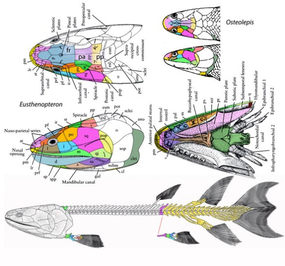 Figure 2. Eusthenopteron skull showing some changes from the Cheirolepis skull.