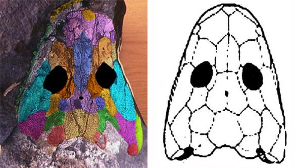 Figure 1. DGS applied to the skull of Ichthyostega (left). Compare to the original interpretation (right).