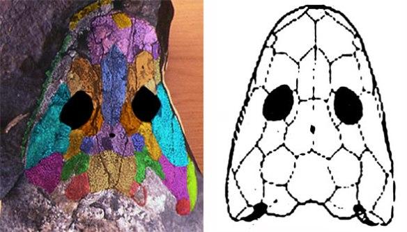 Figure 1. DGS applied to the skull of Ichthyostega (left). Compare to the original interpretation (right).