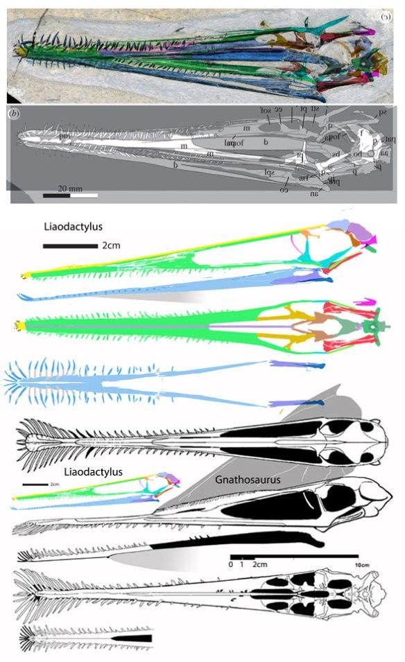 Figure 1. Liaodactylus (in color in in situ compared to Gnathosaurus.