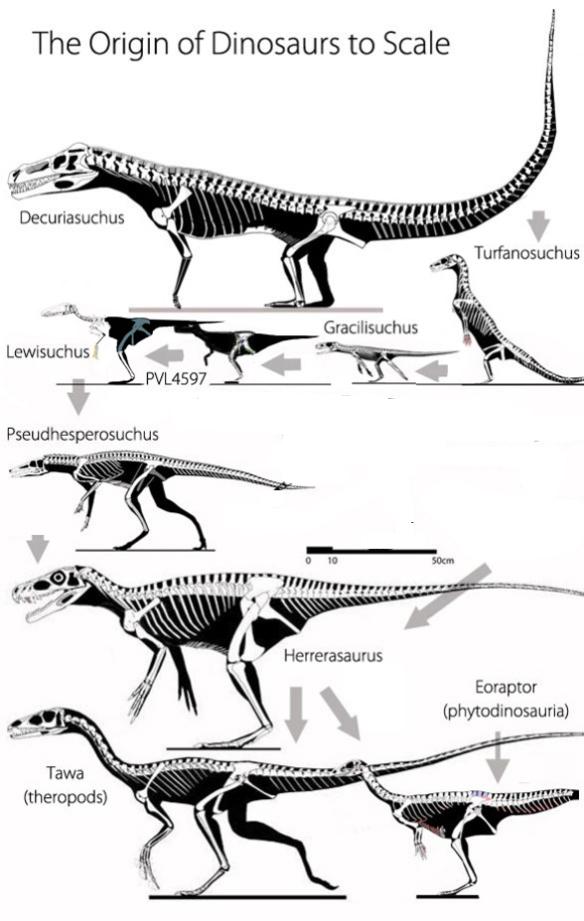 Figure 1. The origin of dinosaurs to scale. Gray arrows show the direction of evolution. This image includes Decuriasuchus, Turfanosuchus, Gracilisuchus, Lewisuchus, Pseudhesperosuchus, Herrerasaurus, Tawa and Eoraptor.