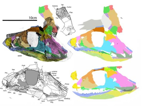 Figure 2. Pederpes skull elements returned to their in vivo positions. Skull roof is shown rotated to the picture plane, but in life would have been flat and seen edge-on. This is a revised reconstruction based on higher resolution data.