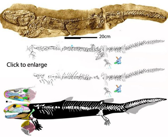 Figure 5. Pholidogaster in situ and with post crania reconstructed based on the Osteolepis bauplan.