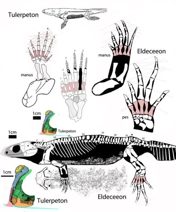 FIgure 1. Tulerpeton compared to Eldeceeon.