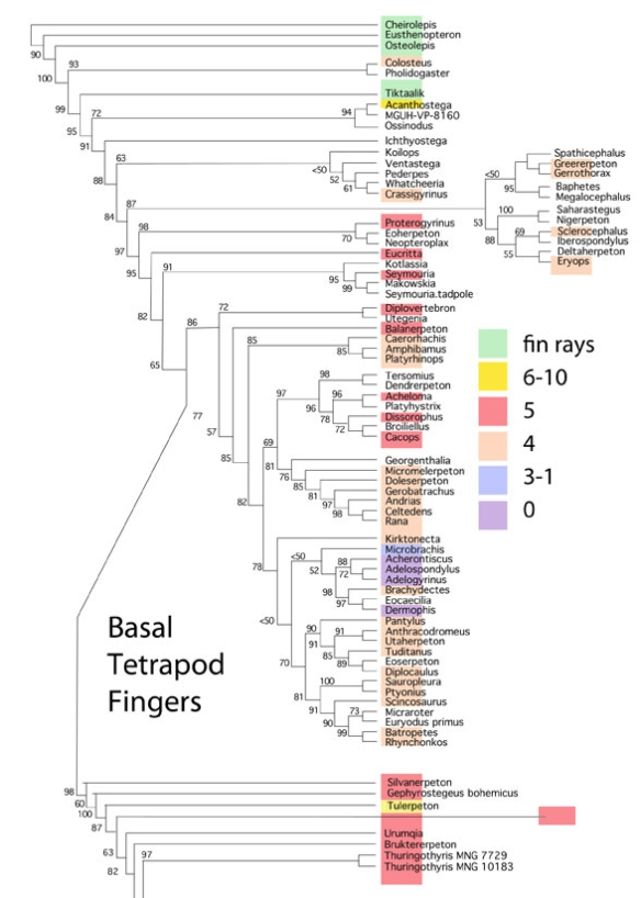 Figure 2. The gradual loss of basal tetrapod fingers. Unfortunately fingers are not known for every included taxon.