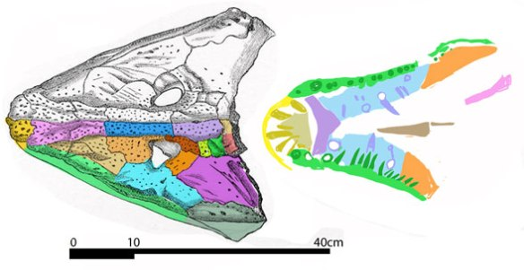 Figure 1. The complete skull of Anthracosaurus greatly resembles its relative, Neopteroplax.
