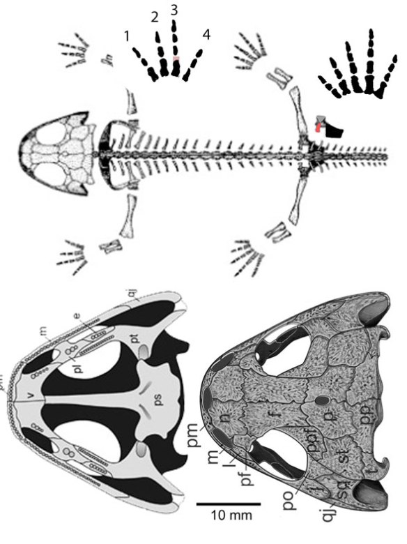 Figure 1. Apateon overall and the skull in palatal and dorsal views. This taxon nests between Doleserpeton and Gerobatrachus in the LRT.