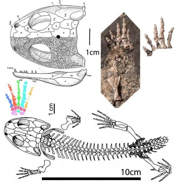 Figure 4. The basal amphibian, Balanerpeton apparently has five fingers (see figure 5).